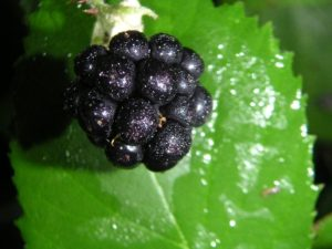 a blackberry on a leaf storyteller storytelling