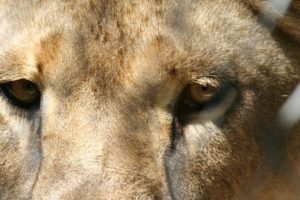 a very close up picture of a lions face